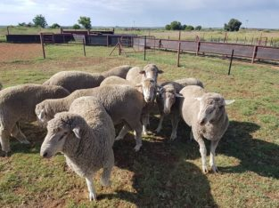 Dorper and Merino Lambs Northern Cape