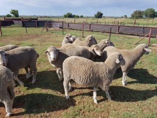 Dorper and Merino Lambs Western Cape