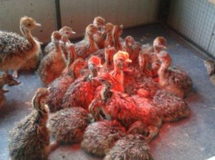 Ostrich chicks and fertile eggs Eastern Cape