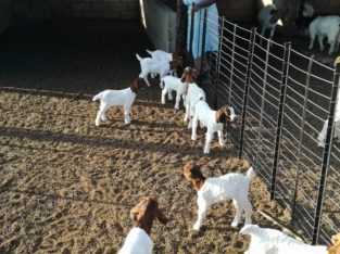 Boer and Kalahari goats for sale in South Africa