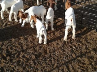 Boer and Kalahari goats Northern Cape