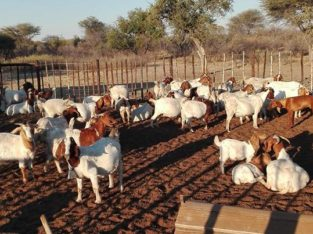 Boer and Kalahari goats Western Cape
