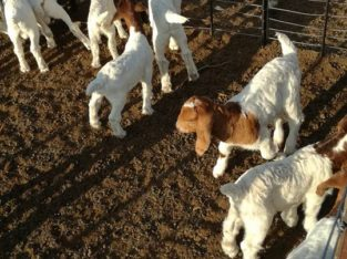 Boer and Kalahari goats North West