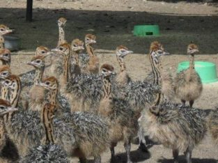 Healthy Ostrich Chicks and Fertile Eggs