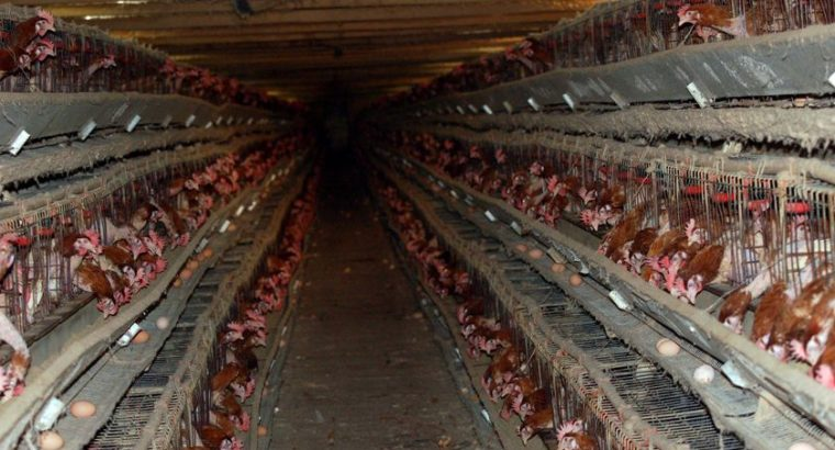 Chickens, Cattle, Goats, Sheep, Pigs, Eggs, Horses, Ostrich