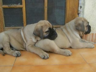 Pure And Full breed Bull Mastiff dog/puppy For Sale CALL 0814544