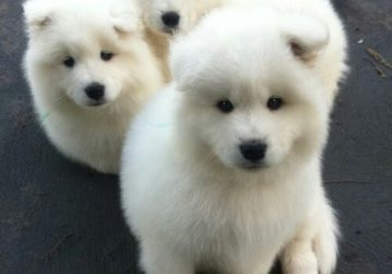 Pure And Full breed Samoyed dog/puppy For Sale CALL 08145445191