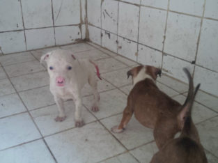 Pure And Full breed Pitbull dog/puppy For Sale CALL 08145445191