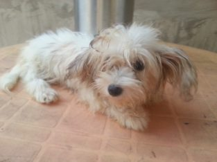 Pure breed Lhasa Apso dog/puppy For Sale CALL 08145445191