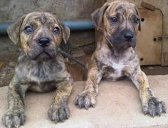 CUTE AND PURE BOERBOEL FOR SALE CALL:08145445191