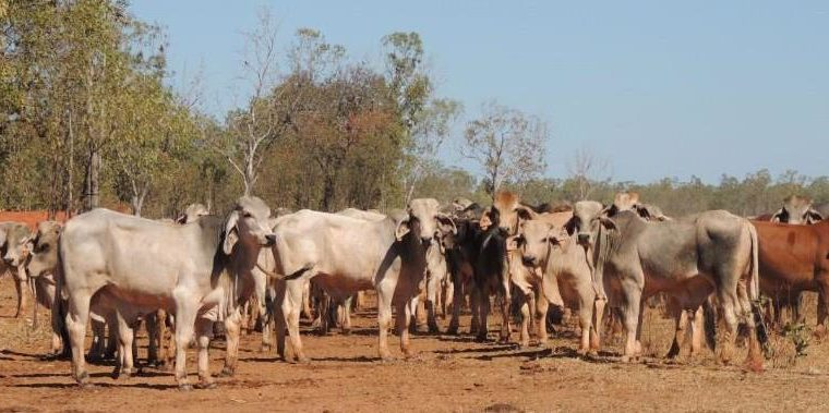 Nguni cattle for sale