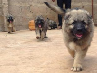 Pure And Full breed Caucasian dog/puppy For Sale CALL:08145445191