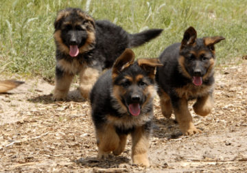 Pure breed German Shepherd dog/puppy For Sale CALL 08145445191