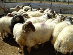 Live Sheep for sale