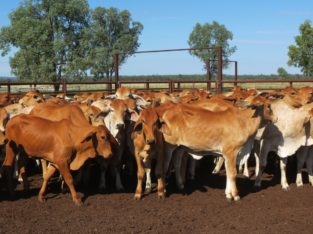 Brahma cattle for sale