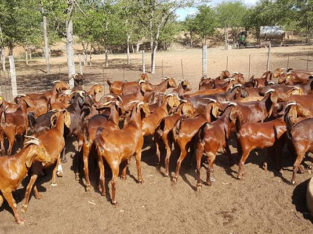 Kalahari red goats for sale