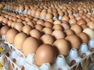 Fresh and Fertile Chicken Eggs .. Whatsapp +27832458210
