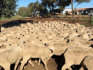 Merino and Dorper sheeps for sale/ Whatsapp +27832458210