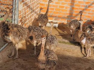 Ostrich Chicks and Ostrich Eggs – Whatsapp +27832458210