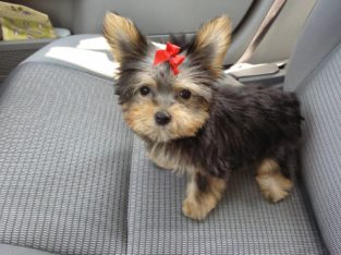 Healthy Yorkie puppies for sale