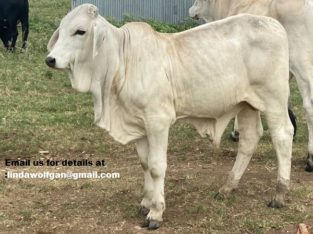 Registered Brahman heifers