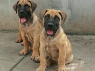 Pure Boerboel Dog/puppy For Sale At N50, 000 Contact: 08104035288
