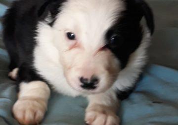 Stunning Purebred Border Collie puppies