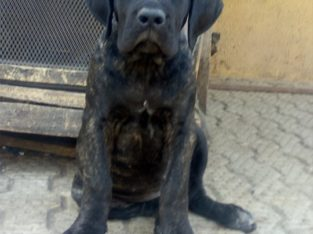 Pure Cane Corso Dog/puppy For Sale Contact: 08104035288