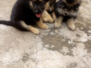 Pure German shepherd Dog/puppy For Sale Contact: 08104035288