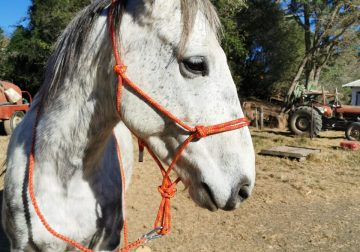 Halter with leadrope