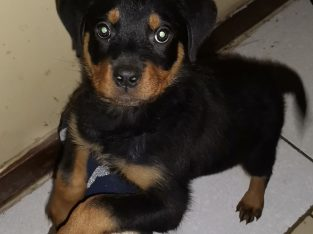 Male Rottweiler Pup