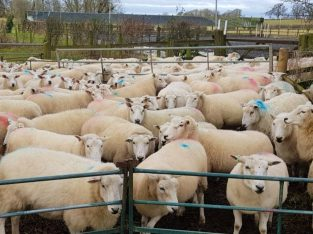 For Selling Live Sheep