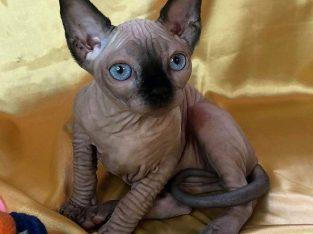 Adorable Sphynx Kitten for Your Loving Home