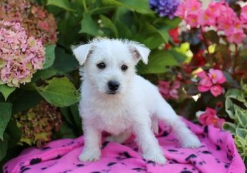 Gorgeous West Highland White Terrier male and female puppies avai