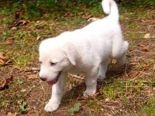 Here are beautiful little Anatolia Shepherd 8 to 9 weeks old Read